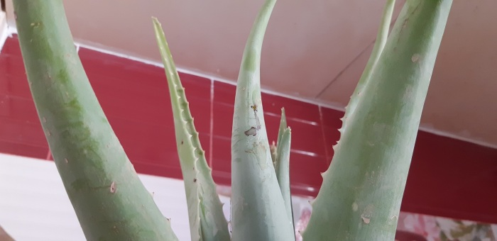 How does it feel to have an #aloe vera at home (and use it)?